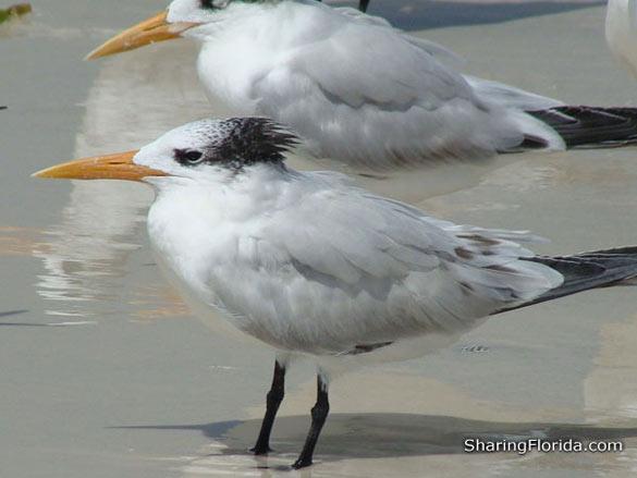 Beach Birds Florida Florida White Beach Bird