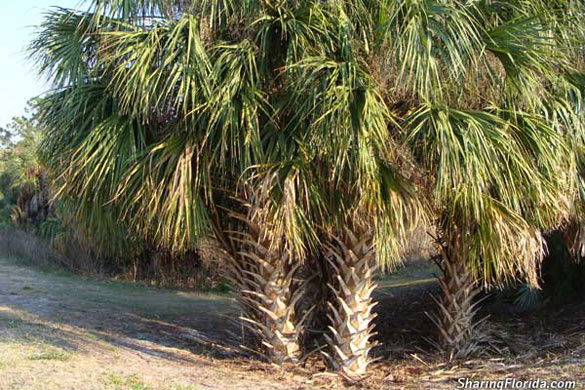 Cabbage Palm Sabal Palm Tree Pictures of a Sabal Palm Tree in
