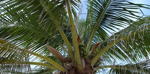 palm trees background. Florida Palm Tree Background