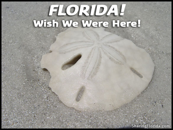 Picture Postcard – Florida Sand Dollar