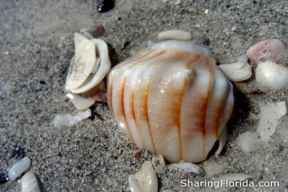 Florida Beach Shell