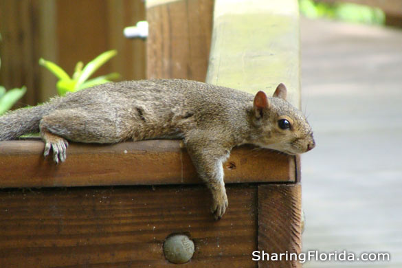 Eastern Gray Squirrel in Florida
